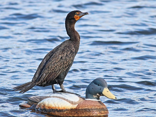 Double-crested Cormorant 2-20161127