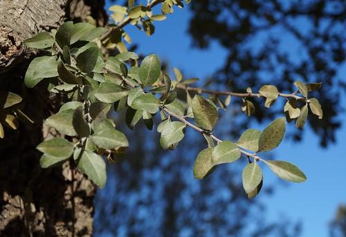 Pyrus spinosa - poirier à feuilles d'amandier 30920597731_f3322320a6