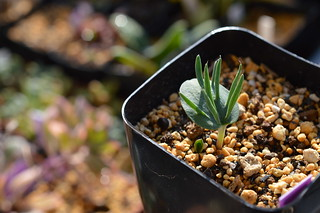 070 Eriospermum alcicorne  エリオスペルマム アルキコルネ