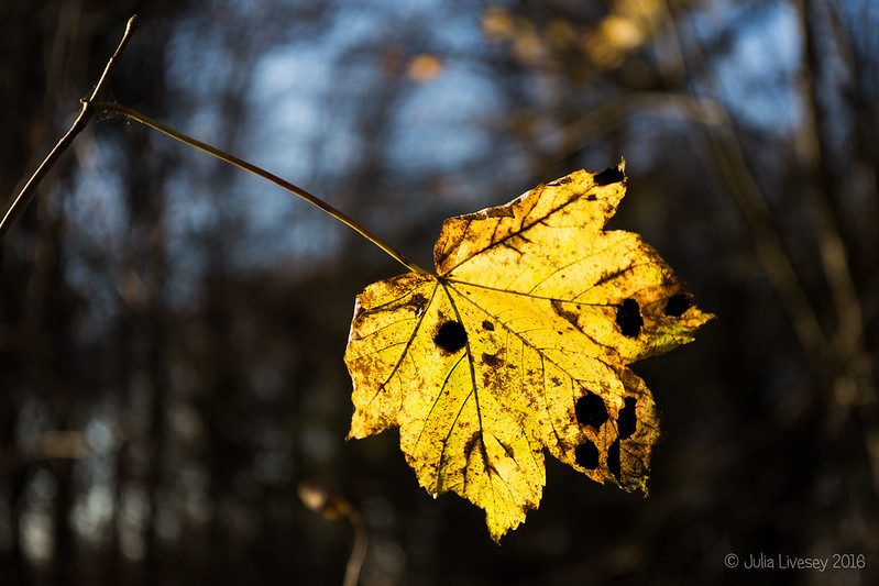 Backlit leaf in the Woodland Walk