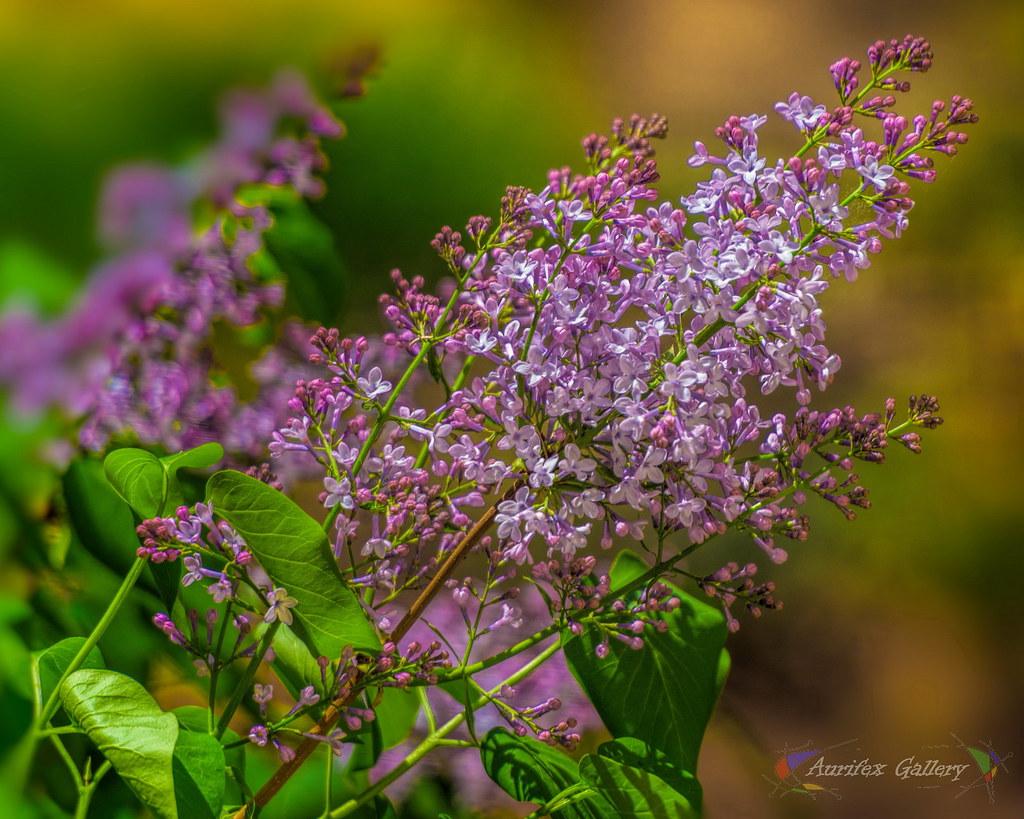 Spring sprig of Lilac