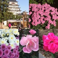 roses & mums❤︎  #fukuyama #hiroshima #japan #rose #chrysanthemum #菊 #薔薇 #広島 #福山