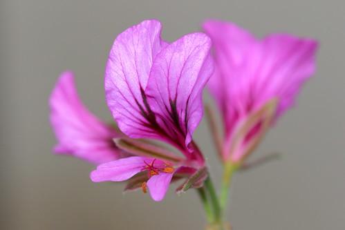 P. suburbanum subsp. suburbanum