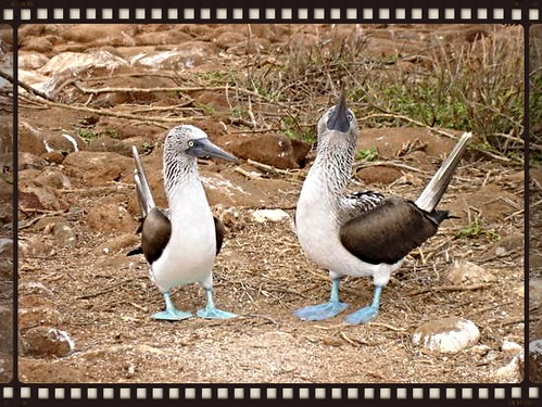 courting blue footed boobie