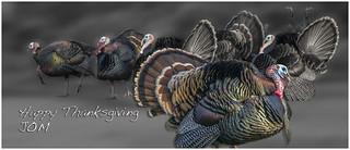 Turkeys _8707