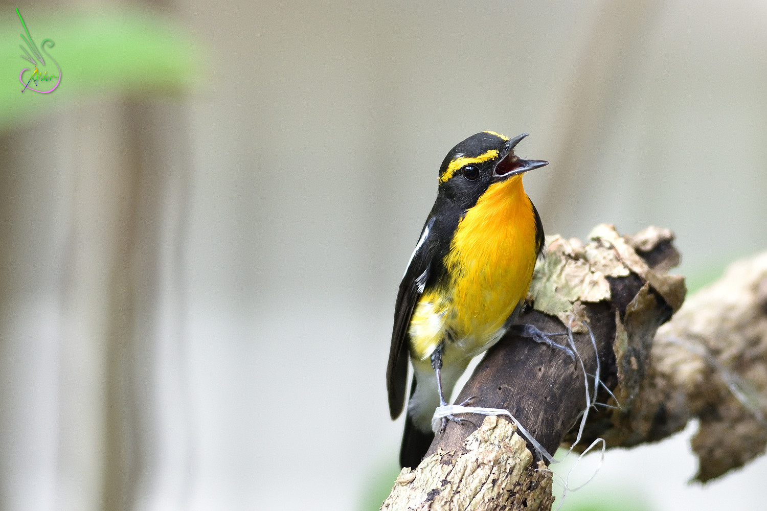 Narcissus_Flycatcher_8392