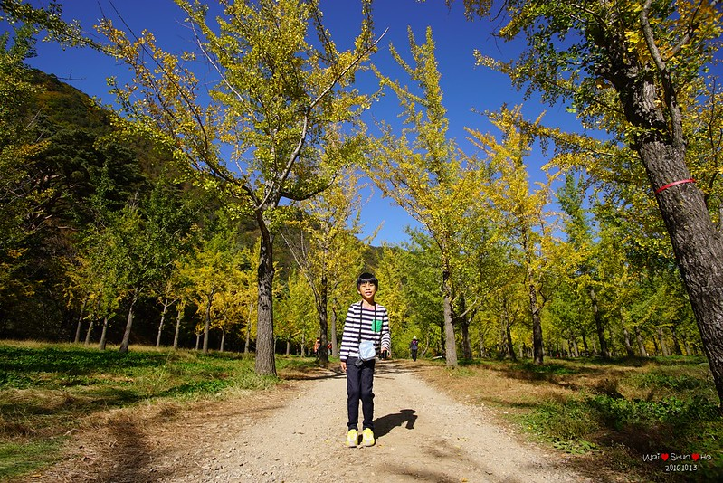 Gingko forest