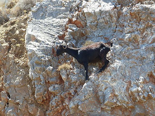 chèvres 3