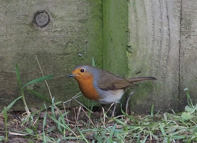 Kitchen garden: Robin