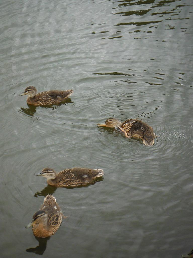 Duck Family 6