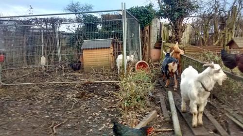 goat paddock Dec 16 (3)