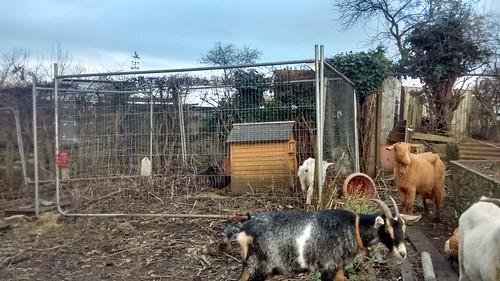 goat paddock Dec 16 (2)