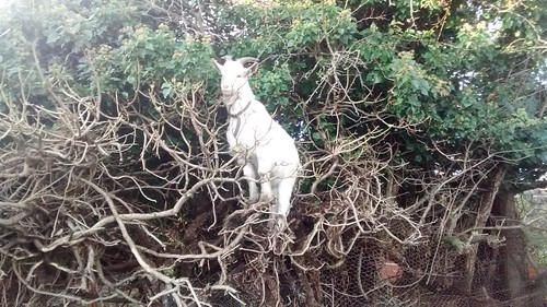 tree-climbing goat Nov 16 (2)