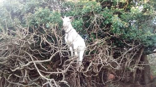 tree-climbing goat Nov 16 (2)