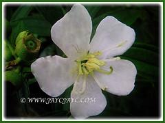 White-flowered Melastoma malabathricum (Malbar Gooseberry, Indian/Singapore Rhododendron, White Senduduk), 5 Nov. 2016