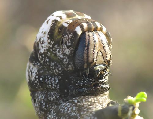 Death's-head Hawk-moth Acherontia atropos Sagres, Algarve November 2016