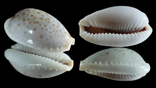 Naria boivinii - (Kiener, 1843) 29983175843_0a29f7dc7d_z
