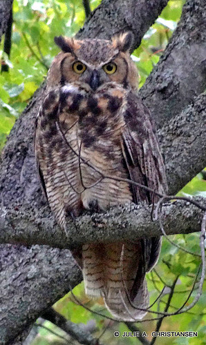Great Horned Owl...... | by smiles7