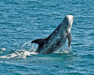 Risso's Dolphin Breach | by Randy Finley (www.wildcalifornia.net)
