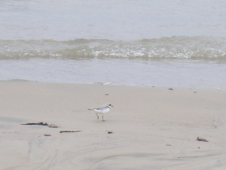 Piping plover | by Blue Lotus