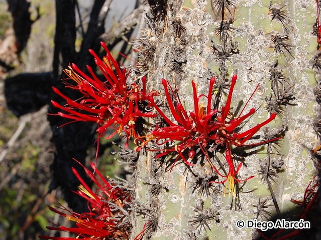 Quintral del Quisco (Tristerix aphyllus) en flor, parasitando a Echinopsis chiloensis