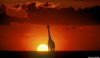 Giraffe at sunset | by Panthera Cats