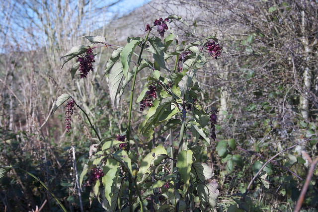Pheasant berry in the edible hedge