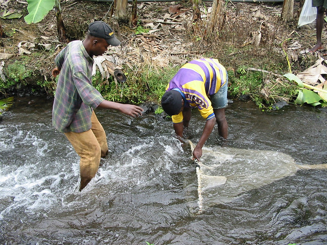 Men netting ornamental fish, Cameroon. Photo by Randall Brummett, 2003