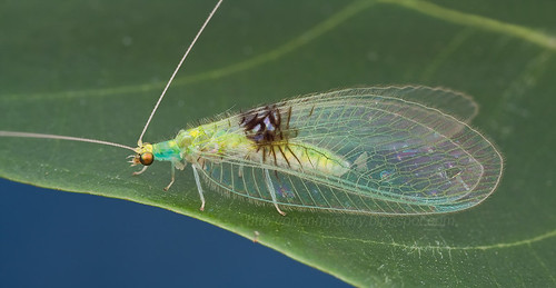 Semachrysa jade new lacewing species  - IMG_0161 merged copy | by Kurt (OrionHerpAdventure.com)