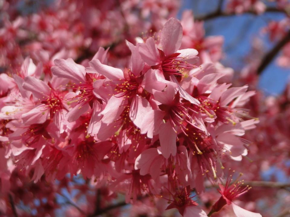 Sakura, Central Park, NY