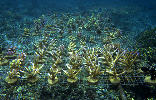 Farmed coral growing on wire bases, Solomon Islands. Photo by Jane Harris, 2001