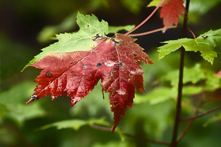 Changing Leaf | by Knowsphotos