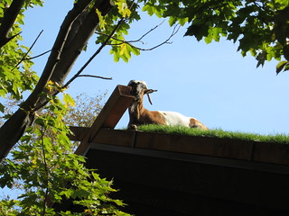 goat basking in the sun | by Madison Bistro