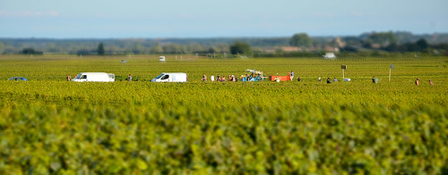 Burgundy Grape Harvest 2011 | by The Hungry Cyclist