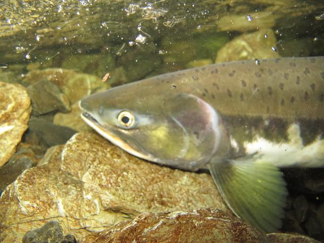 Salmon Moving Through Culvert