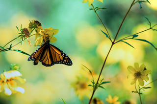 Monarch | by Joel  Olives