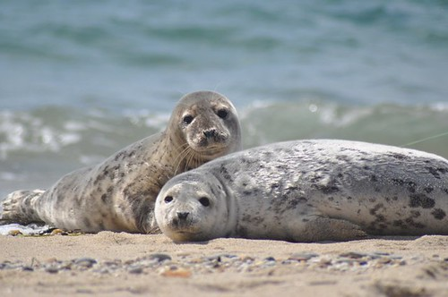 Seals at Nantucket National Wildlife Refuge | by U. S. Fish and Wildlife Service - Northeast Region