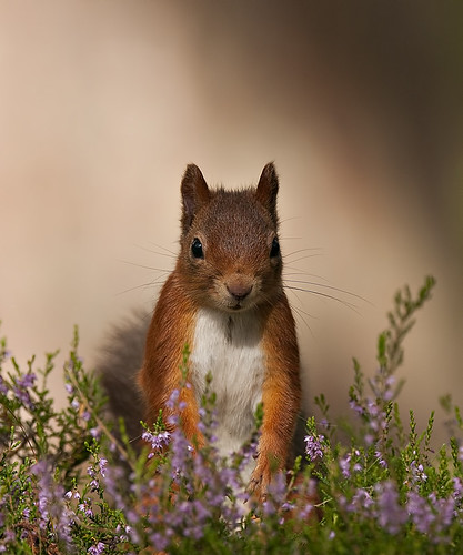 Red Squirrel looking pretty in the Heather (Explored) | by Margaret J Walker