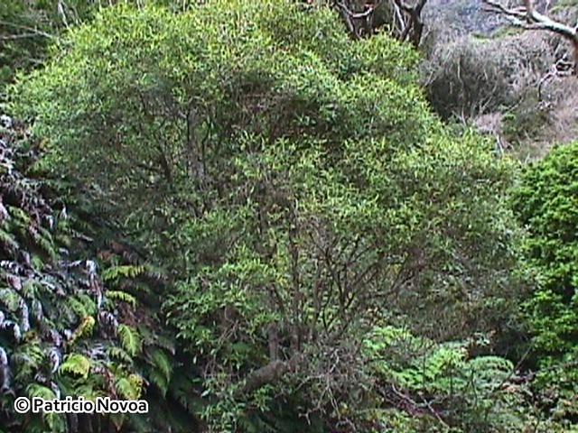 Hábito arbóreo de Coprosma oliveri