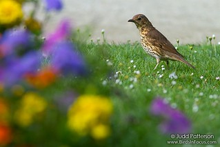 Spring in Paris - Song Thrush | by Judd Patterson