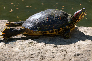 Red-eared slider | by jim_mcculloch
