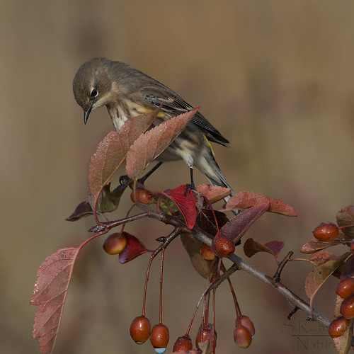 Yellow rumped warbler | by Through The Big Lens
