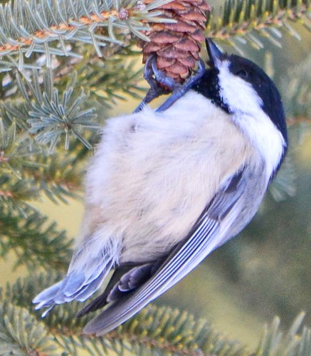 Black-capped Chickadee - Poecile atricapilla | by ctberney