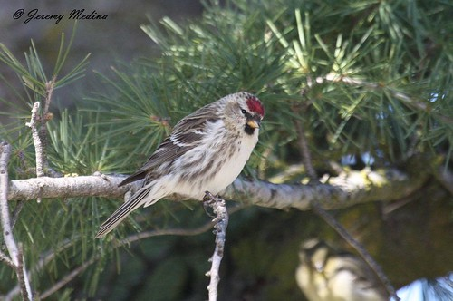 Common Redpoll | by AZ Birdbrain