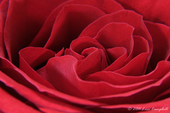Red Rose 1 by Lisa2.0