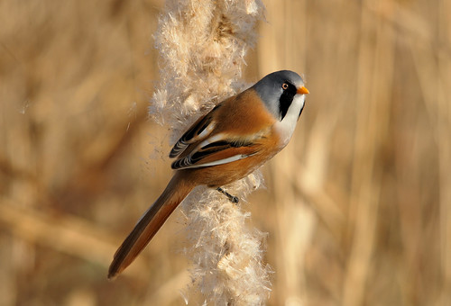 bearded tit | by MFRANKLING