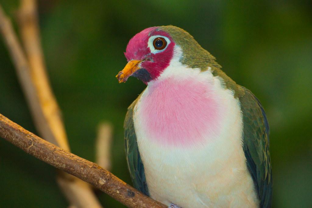 jambu fruit dove flying - photo #35