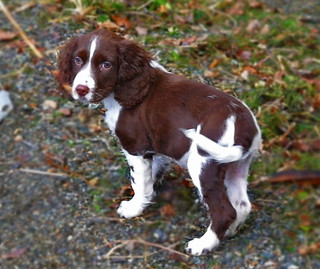 Holly the Springer Spaniel | by Ru Lochlea