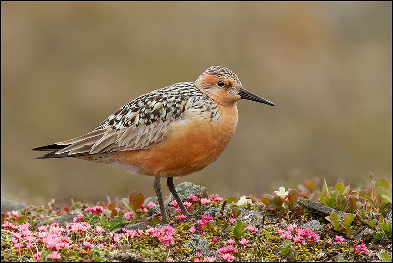 Red Knot and Tundra Flowers