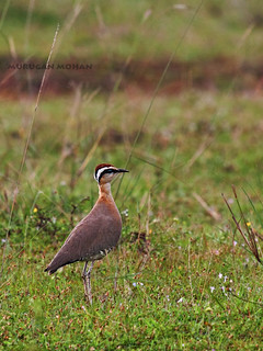Indian Courser | by Murugan Mohan... lazy bones :)